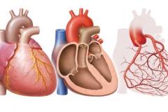 Herz mit Koronararterien